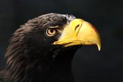 orła wschodni haliaeetus pelagicus Obrazy Stock