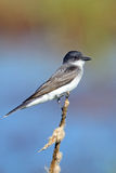 wschodni kingbird Fotografia Stock