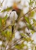 Wschodni kingbird Obrazy Royalty Free