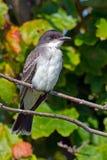 Wschodni Kingbird Zdjęcie Royalty Free