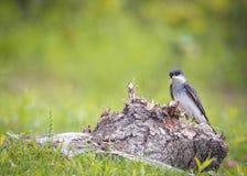 Wschodni Kingbird - Tyrannus tyrannus Zdjęcia Stock