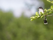 Wschodni Kingbird z Copyspace Obraz Royalty Free