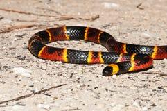 Wschodni Koralowy wąż Zdjęcie Stock