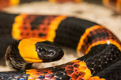 Wschodni Koralowy wąż obrazy stock