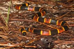 Wschodni Koralowy wąż fotografia stock