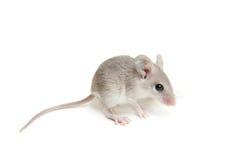 Wschodni lub arabski spiny myszy dziecko na bielu obraz stock