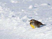 Wschodni Meadowlark garbiący się na śniegu Zdjęcie Stock