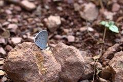 Wschodni Ogoniasty Błękitny motyl Fotografia Royalty Free