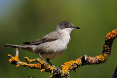 Wschodni Orphean Warbler Obrazy Stock