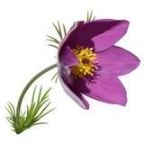 Wschodni pasqueflower royalty ilustracja