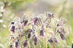 Wschodni pasqueflower, preryjny krokus, cutleaf anemon z wodą obrazy stock