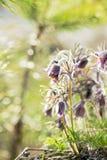 Wschodni pasqueflower, preryjny krokus, cutleaf anemon z wodą zdjęcie royalty free