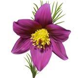 Wschodni pasqueflower ilustracji