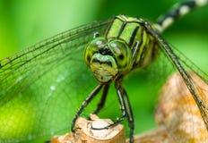 Wschodni Pondhawk lub zielony dragonfly (Erythemis simplicicollis) zdjęcia stock