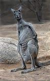 Wschodni popielaty kangur 9 Obraz Stock