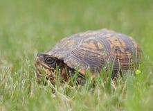 Wschodni Pudełkowaty żółw w Nowym - bydło Zdjęcie Royalty Free