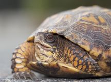 Wschodni Pudełkowaty żółw w Nowym - bydło Obraz Royalty Free