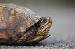 Wschodni Pudełkowaty żółw w Nowym - bydło Fotografia Royalty Free