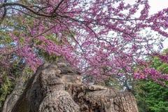 Wschodni redbud drzewa kwiecenie Zdjęcie Stock