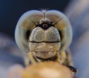 Wschodni Stawowy jastrzębia Dragonfly Zdjęcia Royalty Free