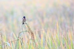Wschodni Stonechat jest zima gościa ptakiem Thailand fotografia stock
