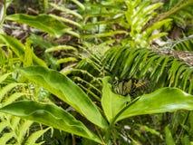 wschodni swallowtail motyla Obrazy Royalty Free