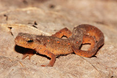 wschodni traszki notophthalmus viridescens Fotografia Royalty Free