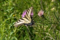 Wschodni Tygrysi Swallowtail i byka oset obraz stock