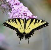 Wschodni Tygrysi Swallowtail motyl Obraz Royalty Free