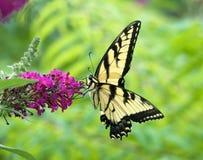 Wschodni Tygrysi Swallowtail motyl fotografia royalty free