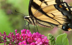 Wschodni Tygrysi Swallowtail motyl zdjęcia royalty free
