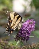 Wschodni Tygrysi Swallowtail motyl obraz stock