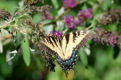 Wschodni Tygrysi Swallowtail motyl Obrazy Stock