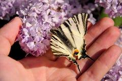 Wschodni tygrysi swallowtail motyl w wiośnie w ogródzie z purpurowymi kwiatami syringa bzu drzewo Motyli obsiadanie na ręce zdjęcie stock
