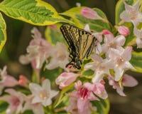 Wschodni tygrysi swallowtail motyl w wiośnie w New Hampshire ogródzie z różowymi kwiatami Obraz Stock