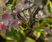 Wschodni tygrysi swallowtail motyl w wiośnie w New Hampshire ogródzie z różowymi kwiatami Zdjęcie Stock