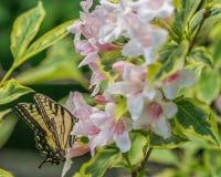 Wschodni tygrysi swallowtail motyl w wiośnie w New Hampshire ogródzie z różowymi kwiatami Obrazy Stock