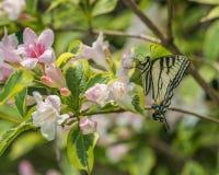Wschodni tygrysi swallowtail motyl w wiośnie w New Hampshire ogródzie z różowymi kwiatami Obrazy Royalty Free
