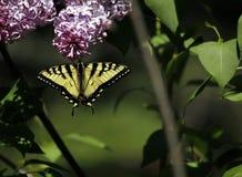 Wschodni Tygrysi Swallowtail obwieszenie od bzów w Kenora, Ontario fotografia stock