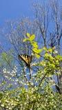 Wschodni Tygrysi Swallowtail Papilio glaucus motyl na czarnej jagodzie Bush Zdjęcie Royalty Free