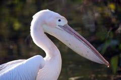 Wschodni Wielki Biały pelikan Fotografia Stock