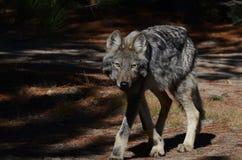 Wschodni wilk w pustkowiu fotografia stock