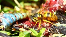 Wschodni Yellowjacket łasowania wąż zbiory wideo