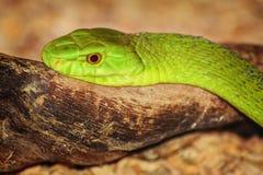 Wschodni Zielony mamba Fotografia Stock