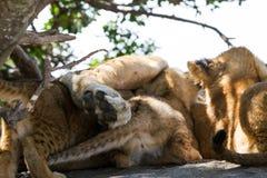 Wschodnia Afrykańska lwicy pierś - karmić lisiątka Obrazy Royalty Free