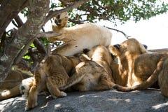 Wschodnia Afrykańska lwicy pierś - karmić lisiątka Zdjęcia Stock