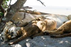 Wschodnia Afrykańska lwicy pierś - karmić lisiątka Zdjęcie Royalty Free