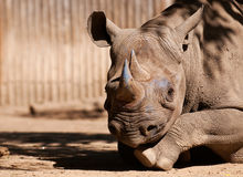 Wschodnia biała nosorożec Obrazy Stock