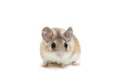 Wschodnia lub arabska spiny mysz, Acomys dimidiatus zdjęcia stock