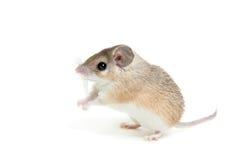 Wschodnia lub arabska spiny mysz, Acomys dimidiatus obraz royalty free